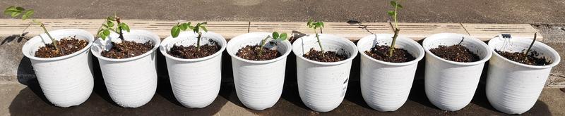 鉢に植え替えたバラ(0316)