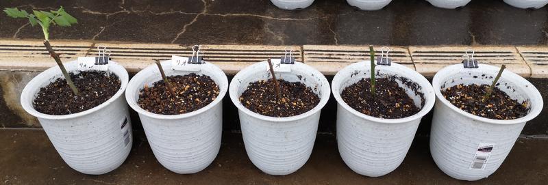 バラの挿し木(鉢への植え替え後)