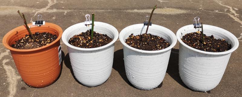 バラの挿し木(植え替え後)