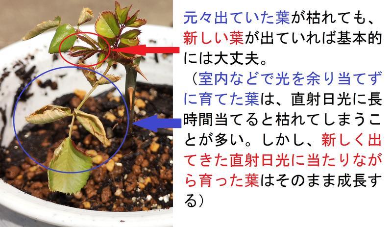 バラの挿し木(説明)
