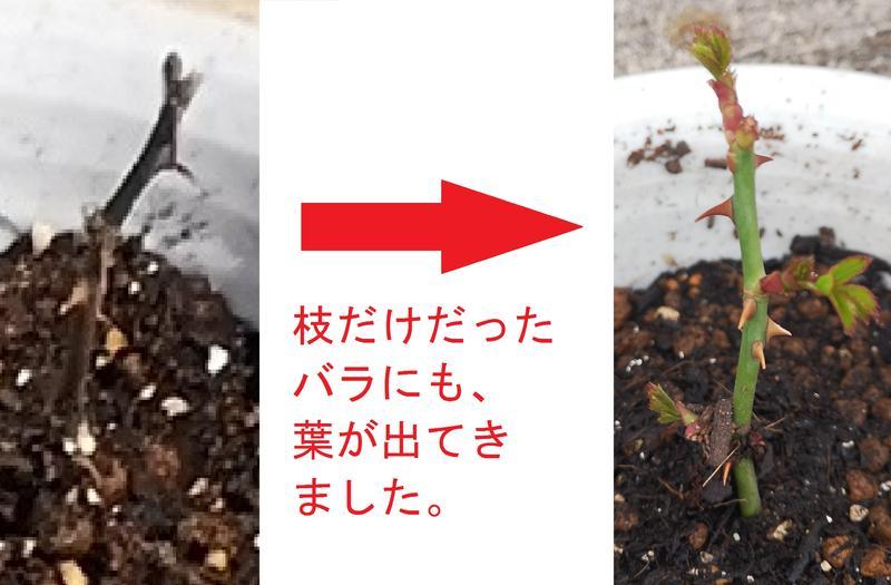 挿し木したバラの発芽